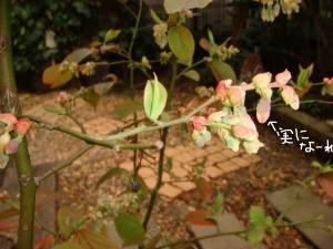 ブルーベリーの芽が大分ほころんできました!たくさん実がつけばいいな!