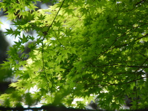 新緑眩しいもみじの葉‥もー素敵すぎ‥!