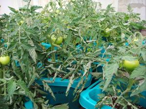 トマトも育ってます